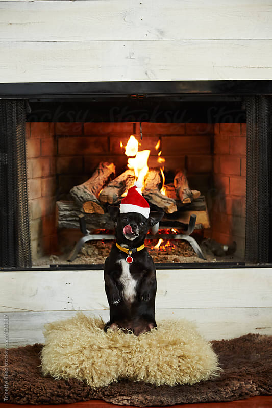 Chihuahua dog wearing a santa hat in front of fireplace by Trinette Reed for Stocksy United