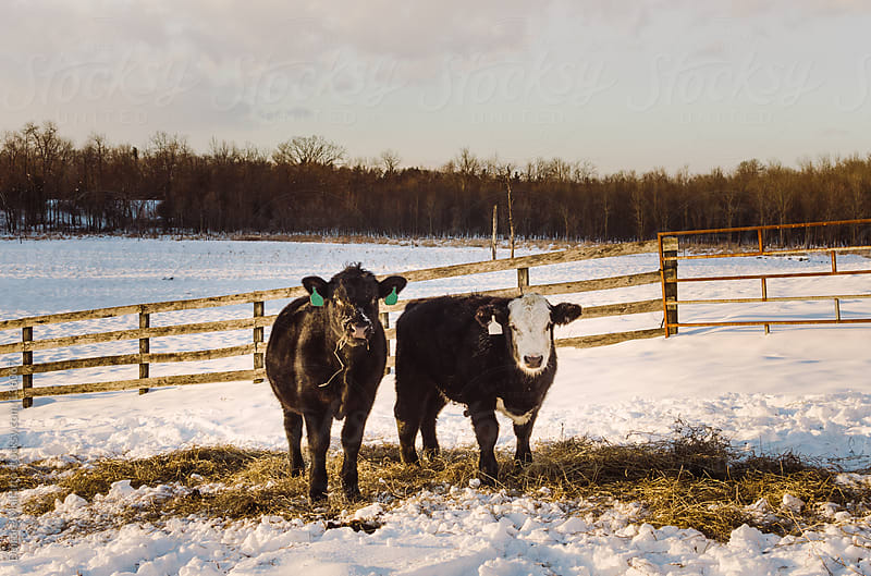 two cows grazing in the snow by Deirdre Malfatto for Stocksy United