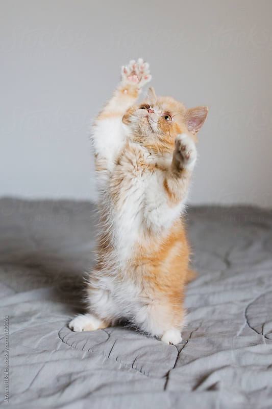 Playful little kitten by Jovana Rikalo for Stocksy United