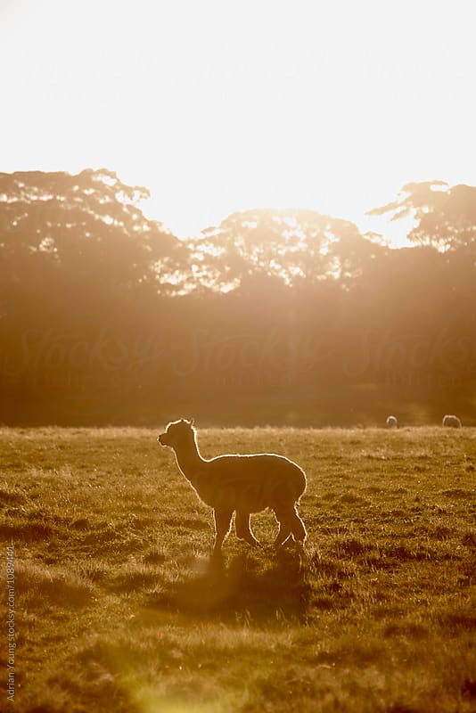 Alpaca At Sunset by Adrian Young for Stocksy United