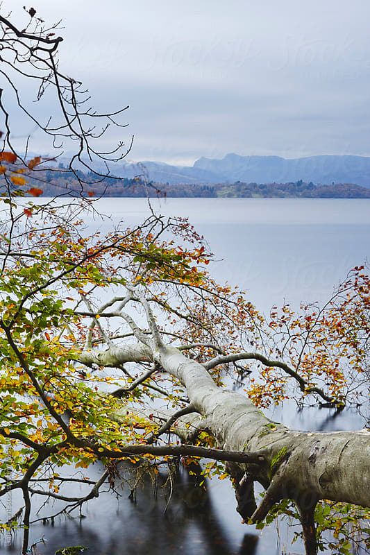 Fallen tree on the shore of Lake Windermere. Cumbria, UK. by Liam Grant for Stocksy United