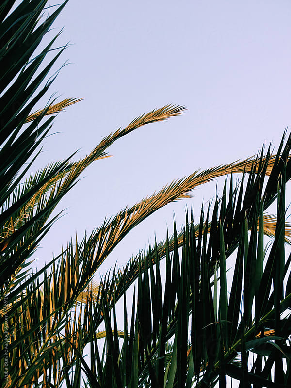 Palm leaves at sunset . Background by Liubov Burakova for Stocksy United