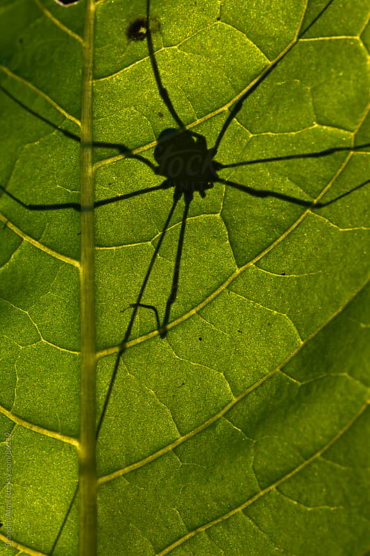 Daddy Longlegs Spider Silhouette on Sunlit Leaf by Brandon Alms for Stocksy United