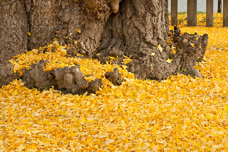 Golden ginkgo leaves with old big tree trunk by Lawren Lu for Stocksy United