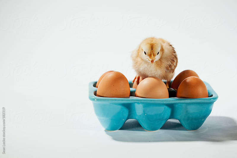 Chicks: Chick Sits On Eggs in Ceramic Carton by Sean Locke for Stocksy United