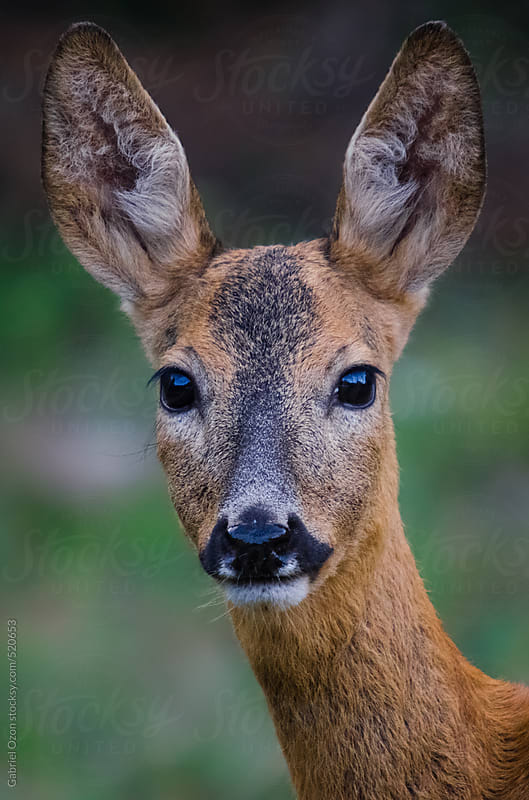 roe deer by Gabriel Ozon for Stocksy United