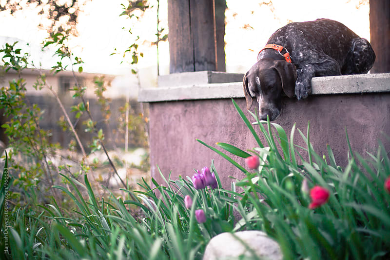 German Shorthaired Pointer Dog smells spring tulips on front porch by Hannah Dewey for Stocksy United