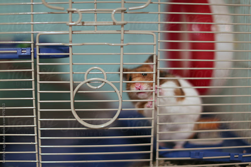 Adorable Syrian hamster wanting out of her cage by Carolyn Lagattuta for Stocksy United