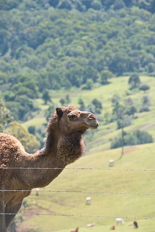 camel by Gillian Vann for Stocksy United