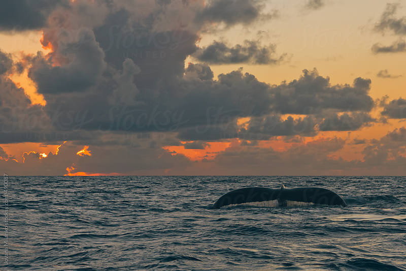 Humpback whale at the ocean surface at sunset by Jovana Milanko for Stocksy United