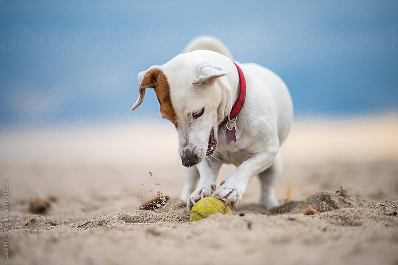 Active Jack Russell Terrier playing on the beach by Luca Pierro for Stocksy United