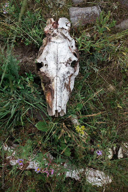 Elk skull in growing vegetation by Matthew Spaulding for Stocksy United
