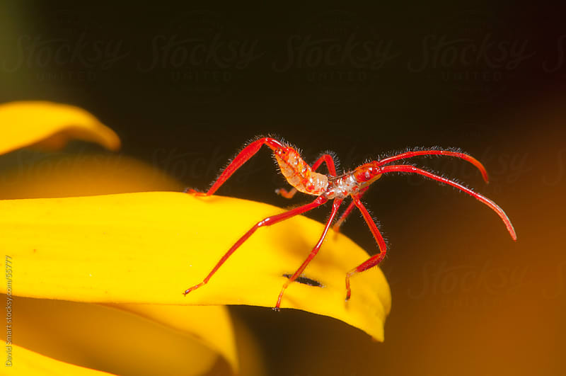 Tiny red insect on a yellow petal of a black-eyed susan by David Smart for Stocksy United