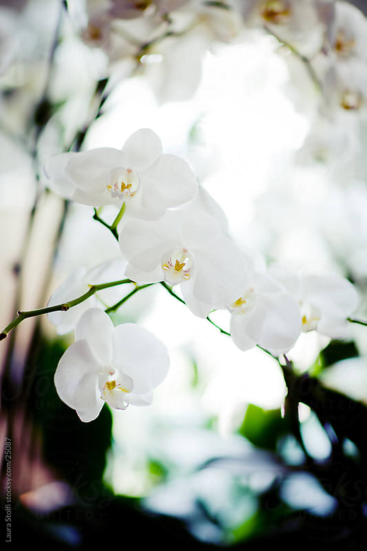 White orchids in bloom on branch by Laura Stolfi for Stocksy United