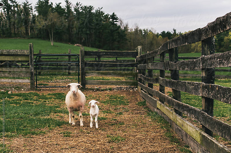 Mother sheep with her baby lamb on a farm by Deirdre Malfatto for Stocksy United