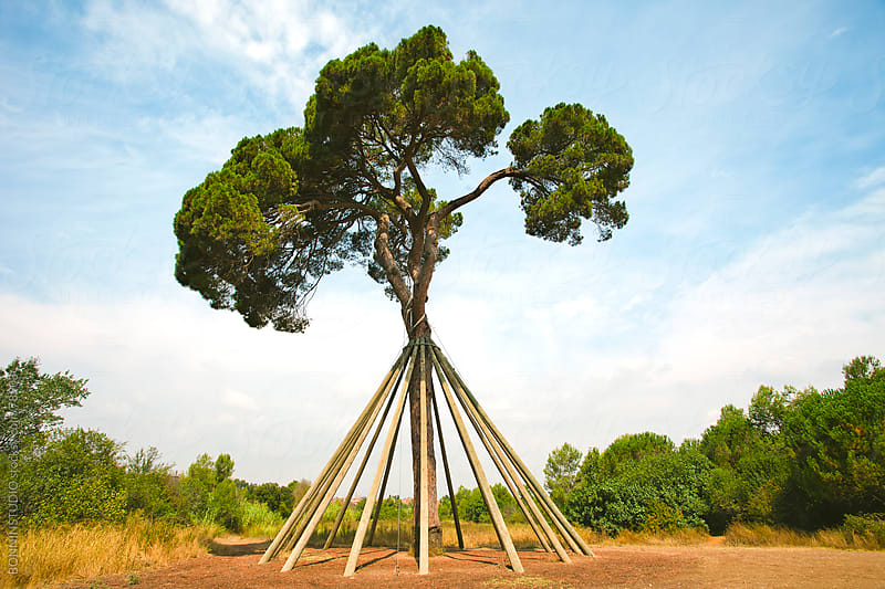 Propped up tree. Old pine.  by BONNINSTUDIO for Stocksy United