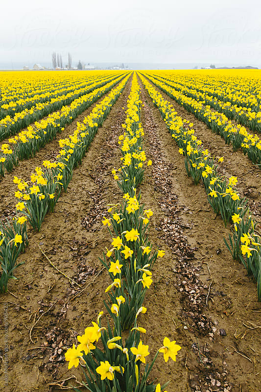 Bright Yellow Field of Daffodil Flowers by Luke Mattson for Stocksy United