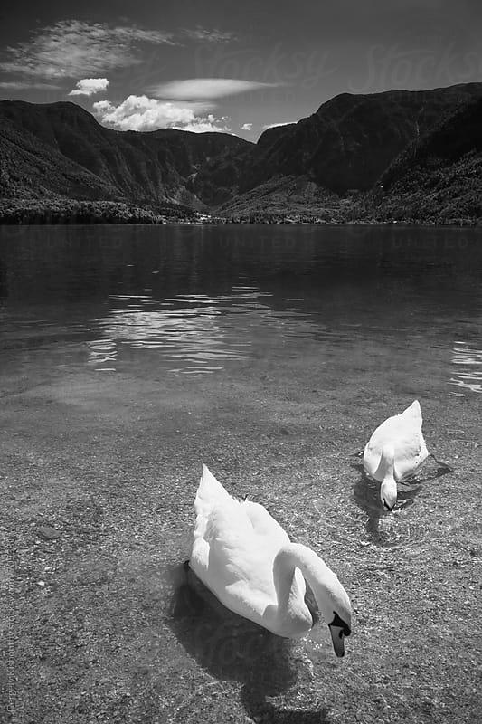 Swans in Hallstatt lake. by Gergely Kishonthy for Stocksy United
