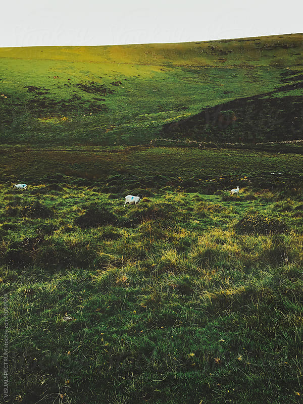 Sheep Grazing on Green Pasture (Dartmoor NP, Devon, England) by VISUALSPECTRUM for Stocksy United