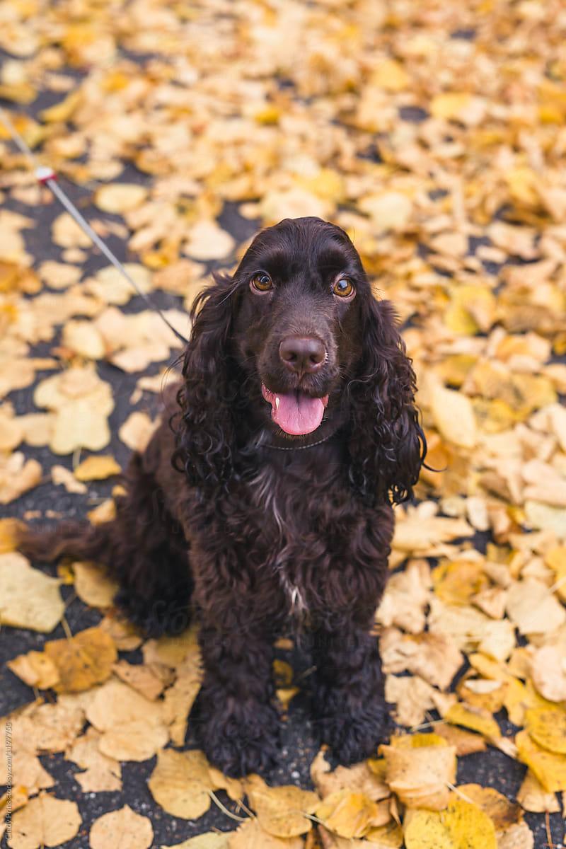 Brown english cocker spaniel dog sitting on autumn leaves - Free cocker spaniel screensavers ...