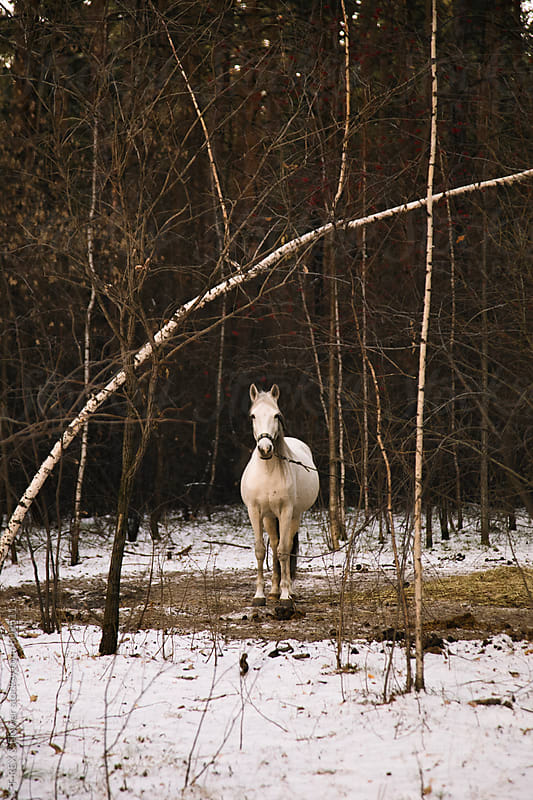 White horse on lead looking at camera by Danil Nevsky for Stocksy United