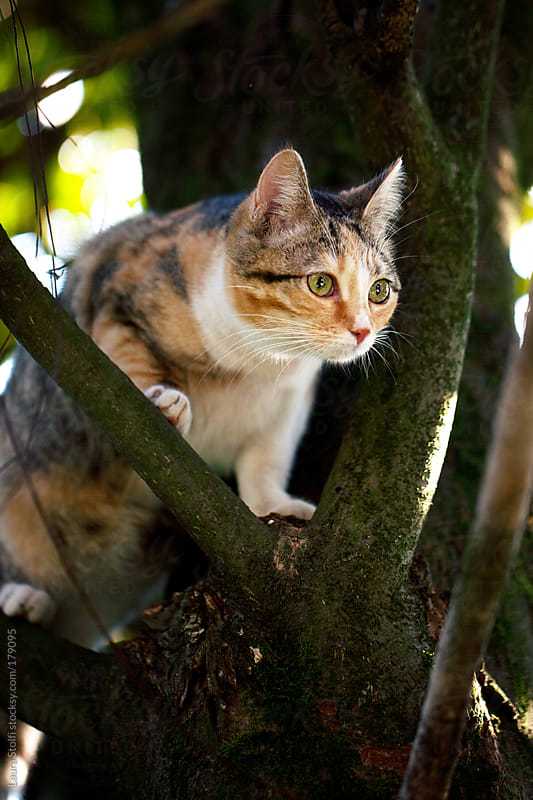 Cat standing on tree branch and staring at something by Laura Stolfi for Stocksy United