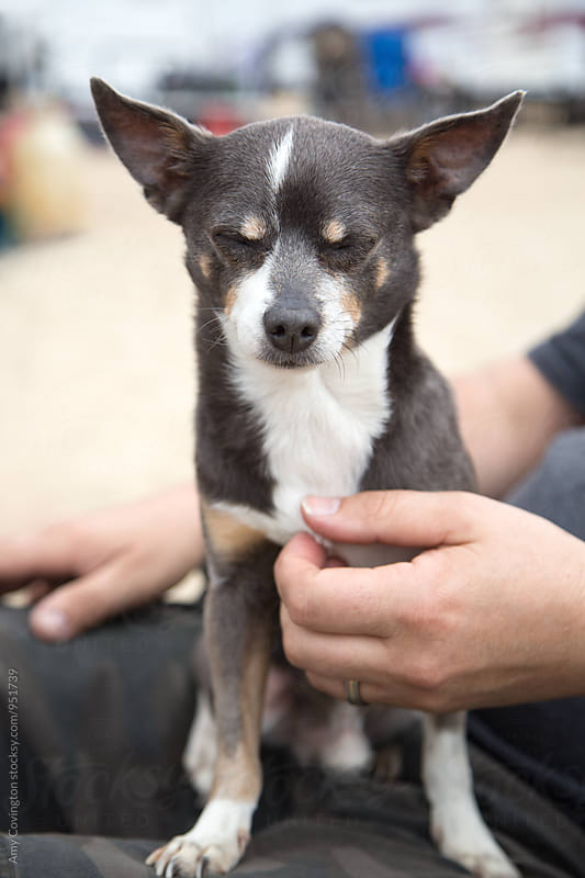 A chihuahua enjoying the moment of getting pet by it's human  by Amy Covington for Stocksy United