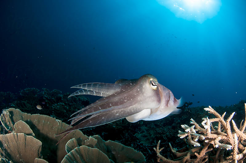 Cuttlefish Over Pristine Coral Reef by Shane Gross for Stocksy United