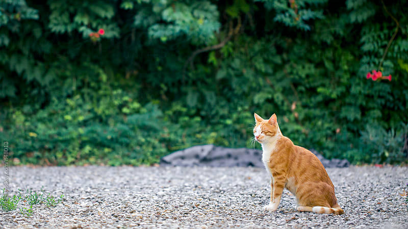 Red and white cat sits in garden and blinks by Laura Stolfi for Stocksy United