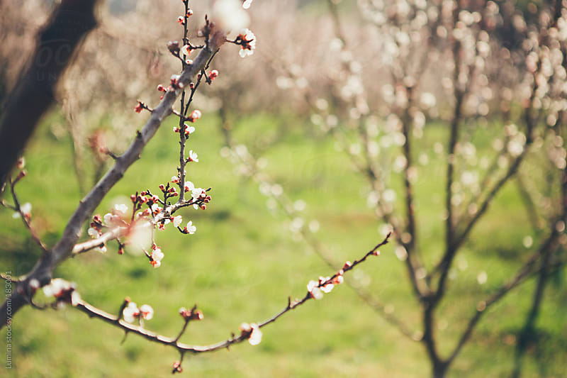 Cherry Trees in Bloom by Lumina for Stocksy United