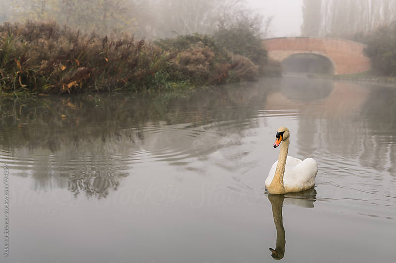 Swan glides through the fog by Rebecca Spencer for Stocksy United