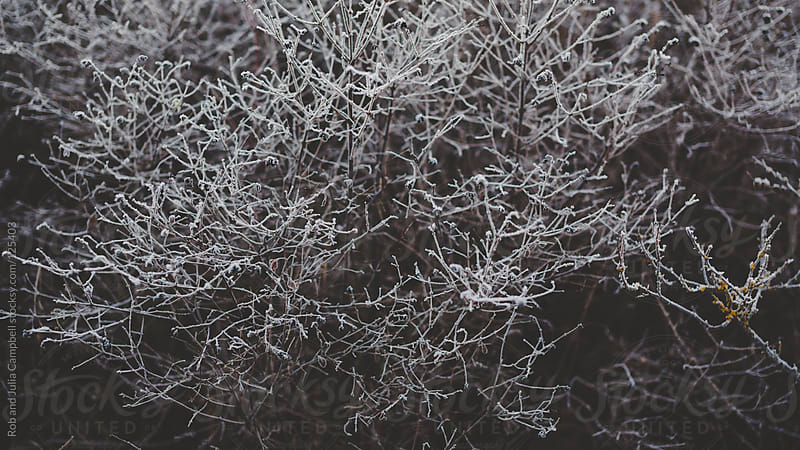 Frost on bush in winter by Rob and Julia Campbell for Stocksy United