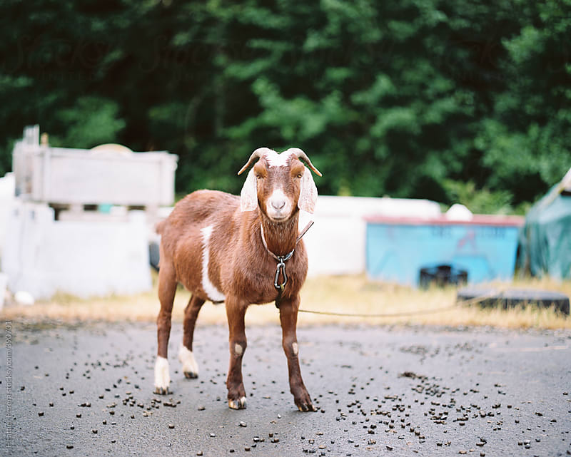 Goat in Astoria by Heather Perera for Stocksy United