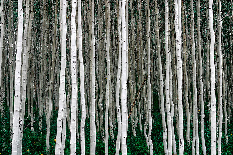 Birch Forest In Park City, Utah by Raymond Forbes LLC for Stocksy United