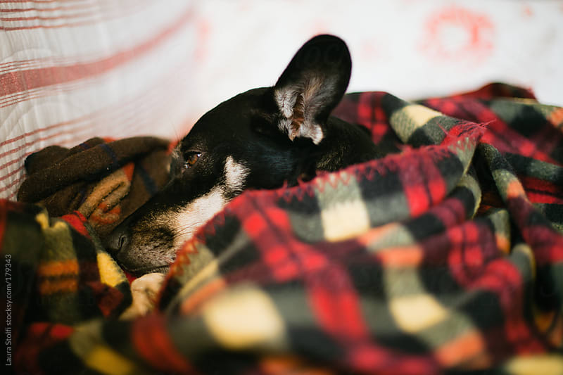 Super chilly dog sleeping cozily inside a woolen blanket by Laura Stolfi for Stocksy United