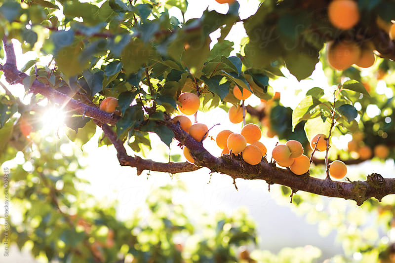 Organic Apricots Growing On Tree by Sara Remington for Stocksy United