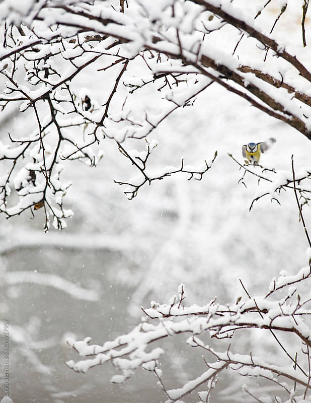 Blue Tit taking flight from snowy Magnolia stellata tree in garden in winter by Laura Stolfi for Stocksy United