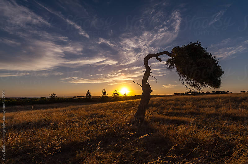 Bent Tree at Sunset in a Field of Golden Grass by Gary Radler Photography for Stocksy United