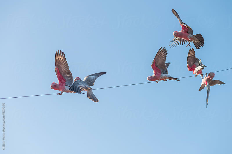 Australian galahs struggling to balance on a wire by Gillian Vann for Stocksy United
