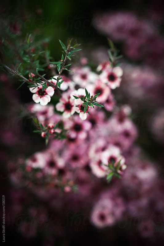 Pink Leptospermum (tea tree) in bloom seen from above with focus on green leaves and blurred flowers by Laura Stolfi for Stocksy United