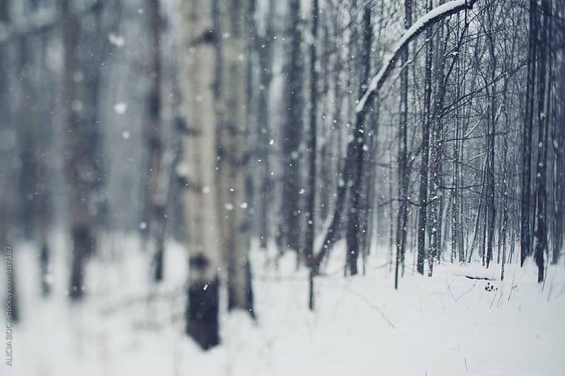 Poplar Trees In Snow by ALICIA BOCK for Stocksy United