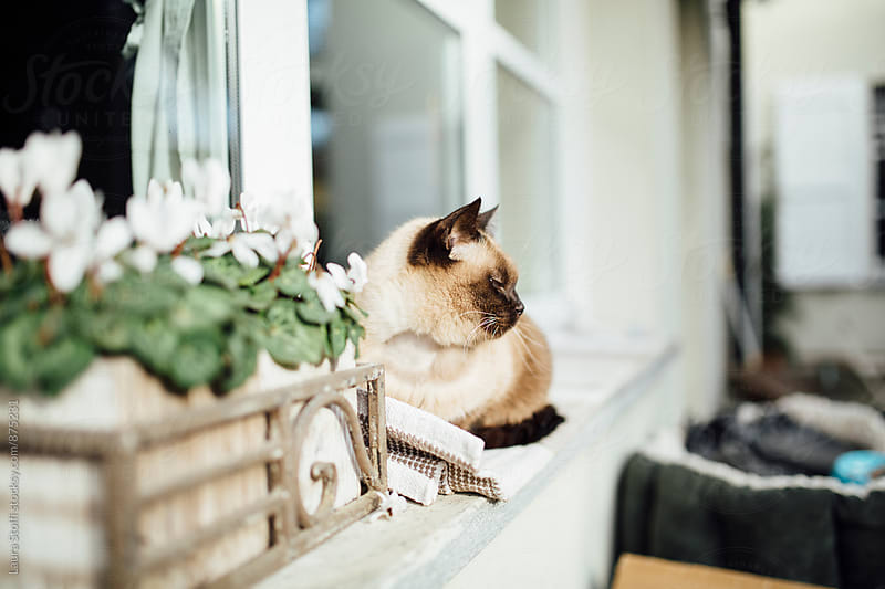 Side view of siamese cat laying close to cyclamen pot in the sun windowsill by Laura Stolfi for Stocksy United