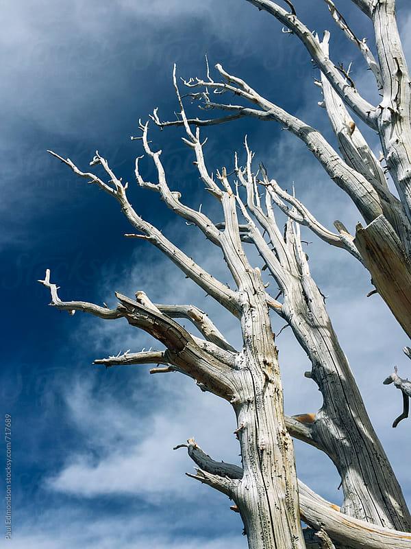 Remains of dead Whitebark pine tree in the High Sierra by Paul Edmondson for Stocksy United