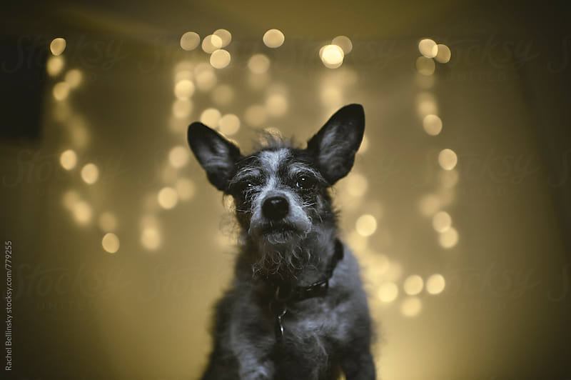 Scruffy dog with Christmas Lights by Rachel Bellinsky for Stocksy United
