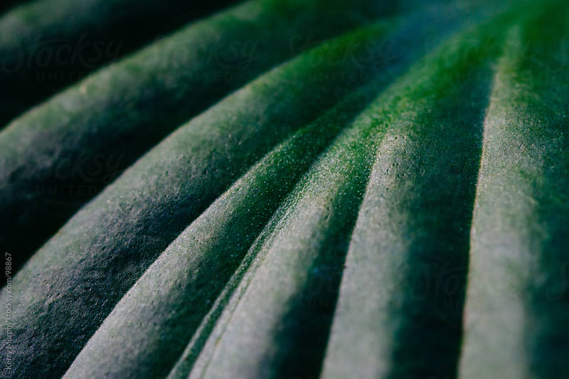 Abstract macro of hosta leaf by Kerry Murphy for Stocksy United