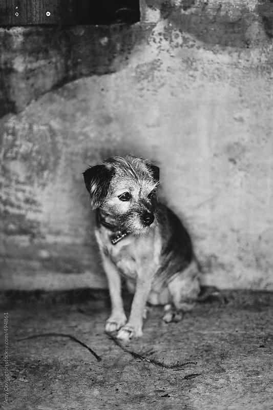 Black and white portrait of little dog  by Amy Covington for Stocksy United