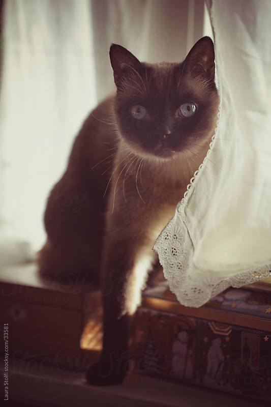 Portrait of cat peering out of white linen curtains on windowsill by Laura Stolfi for Stocksy United