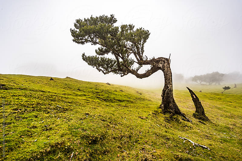 Old Laurel Tree on Madeira by Andreas Wonisch for Stocksy United
