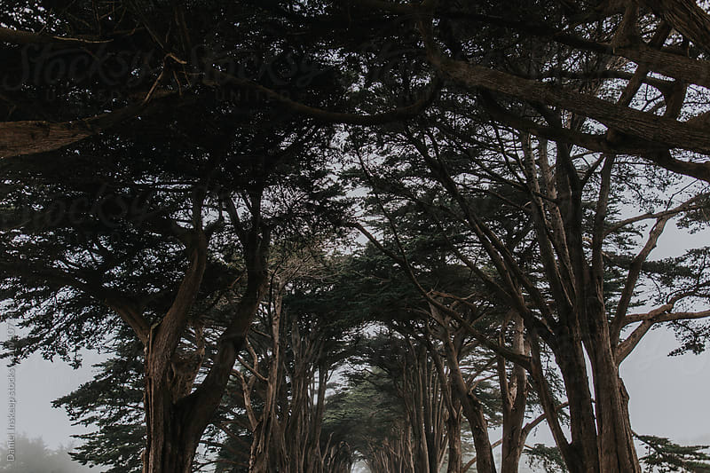 Foggy Cypress Tree Tunnel by Daniel Inskeep for Stocksy United