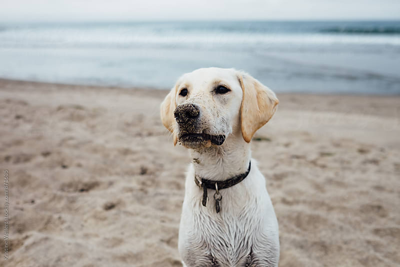 White Dog Sitting in the Sand by Kristine Weilert for Stocksy United